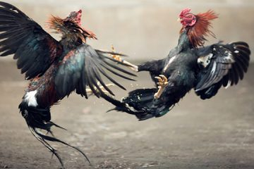 Judi Sabung Ayam SV388 Online